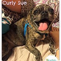 Adopt A Pet :: Curly Sue - Plainfield, IL