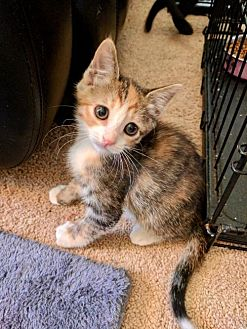 Calico Kitten for adoption in Los Angeles, California - BUNNY