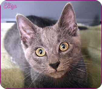 Russian Blue Kitten for adoption in Sherman Oaks, California - Eliza