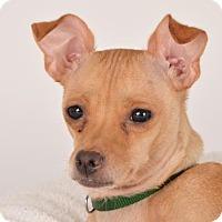 Chihuahua Mix Dog for adoption in San Francisco, California - Prue