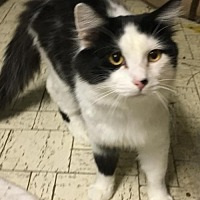 Domestic Longhair Cat for adoption in O'Fallon, Missouri - Fluffy Boy Henry