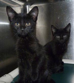Domestic Mediumhair/Domestic Shorthair Mix Cat for adoption in Meadow Lake, Saskatchewan - Samwell