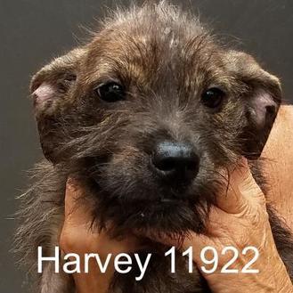 Schnauzer (Standard) Mix Dog for adoption in Manassas, Virginia - Harvey
