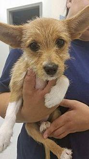 Corgi/Terrier (Unknown Type, Medium) Mix Dog for adoption in New York, New York - Aria