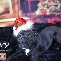 Adopt A Pet :: Ivy - Gulfport, MS