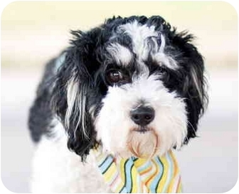 Lhasa Apso/Poodle (Miniature) Mix Dog for adoption in Austin, Texas - Henry
