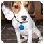 Photo 2 - Beagle Puppy for adoption in Latrobe, Pennsylvania - Jake