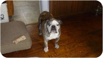 English Bulldog Dog for adoption in Decatur, Illinois - Koda
