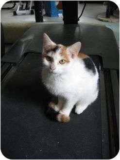 Calico Cat for adoption in Myrtle Beach, South Carolina - Kandi
