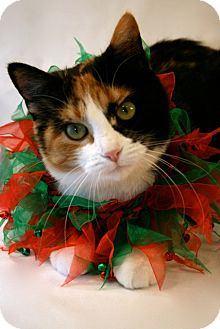 Calico Cat for adoption in Marion, Wisconsin - Kindle