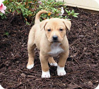 Hound (Unknown Type) Mix Puppy for adoption in Marietta, Georgia - Falcon