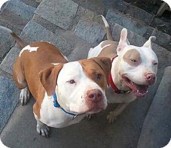 Labrador Retriever/American Pit Bull Terrier Mix Dog for adoption in San Diego, California - Jack