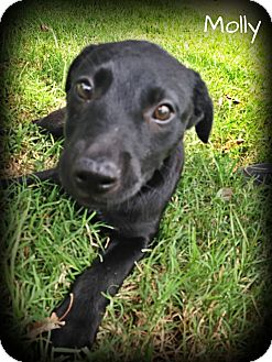 Labrador Retriever/Border Collie Mix Puppy for adoption in Brattleboro, Vermont - Molly
