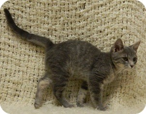 Domestic Shorthair Cat for adoption in Columbus, Nebraska - Doodle