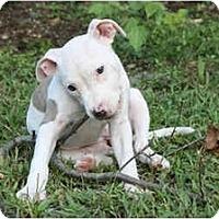 Adopt A Pet :: Edie - Reisterstown, MD