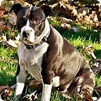 Adopt A Pet :: Molly - North Wales, PA