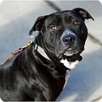 Adopt A Pet :: Harvey - Reisterstown, MD