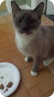 Siamese Cat for adoption in Hollywood, Florida - MAX