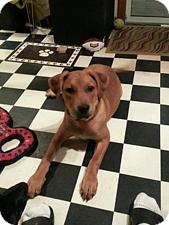 Shepherd (Unknown Type) Mix Puppy for adoption in Old Bridge, New Jersey - Dallas