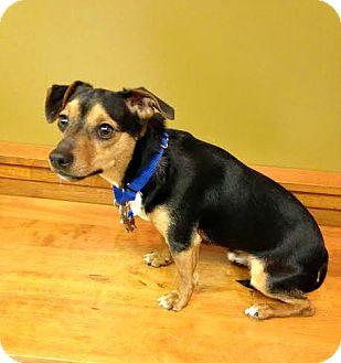 Miniature Pinscher Mix Dog for adoption in Sharon Center, Ohio - Watson