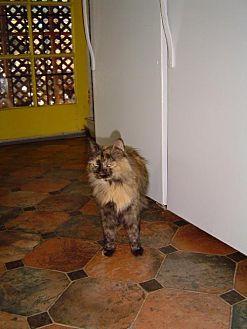 Domestic Shorthair Cat for adoption in Sherman Oaks, California - Lila - sponsor only