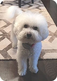 Bichon Frise Dog for adoption in East Hanover, New Jersey - NELLY