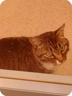 Domestic Shorthair Cat for adoption in shelton, Connecticut - Perry