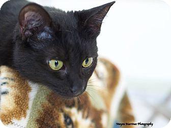 Domestic Shorthair Cat for adoption in Homewood, Alabama - Mulan