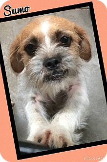 Brussels Griffon Mix Dog for adoption in Apache Junction, Arizona - Sumo