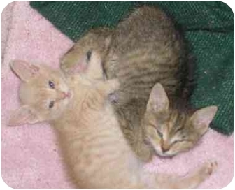 Domestic Shorthair Kitten for adoption in Laurel, Maryland - Thing 1 and Thing 2