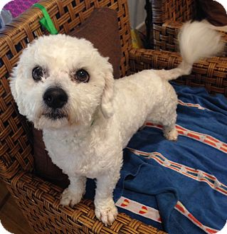 Poodle (Miniature) Mix Dog for adoption in Santa Ana, California - Kiki