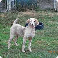 Adopt A Pet :: Spirit ADOPTED! - moscow mills, MO