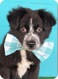 Australian Shepherd/Border Collie Mix Puppy for adoption in Glastonbury, Connecticut - Dark Fire