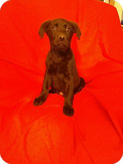 Labrador Retriever Mix Puppy for adoption in Hillsboro, Illinois - Cricket-ADOPTION PENDING