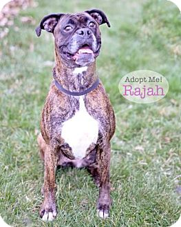 Boxer Dog for adoption in West Des Moines, Iowa - Rajah