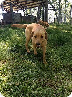 Labrador Retriever/Dachshund Mix Dog for adoption in Richmond, Virginia - Molly