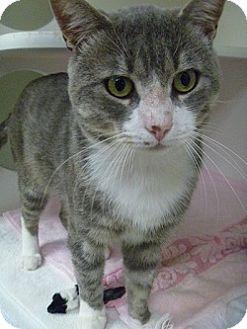 Domestic Shorthair Cat for adoption in Hamburg, New York - Dale Jr.