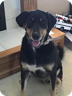 Labrador Retriever/Blue Heeler Mix Dog for adoption in Overland Park, Kansas - Daisy