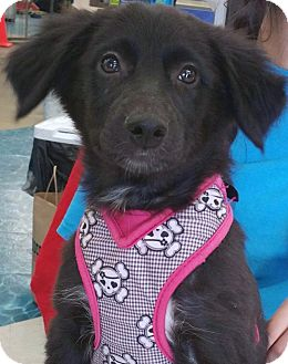 Border Collie/Labrador Retriever Mix Puppy for adoption in Phoenix, Arizona - Emilee