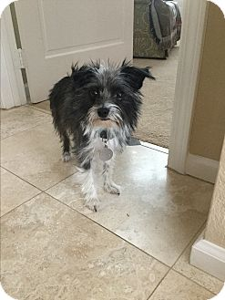 Yorkie, Yorkshire Terrier/Terrier (Unknown Type, Small) Mix Dog for adoption in Pleasanton, California - Abby