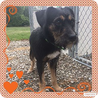 Miniature Schnauzer/Terrier (Unknown Type, Small) Mix Dog for adoption in Sharonville, Ohio - Daphne~~ADOPTION PENDING