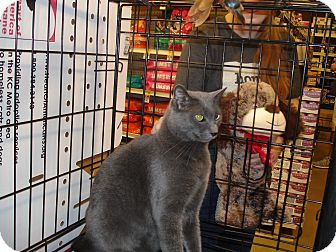 Russian Blue Cat for adoption in Overland Park, Kansas - Purrcy