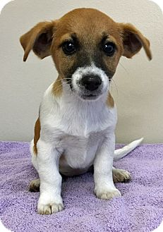 Jack Russell Terrier/Beagle Mix Puppy for adoption in Gahanna, Ohio - ADOPTED!!!   Petunia