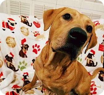 Labrador Retriever Mix Dog for adoption in Brattleboro, Vermont - Ellie