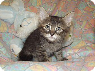Domestic Mediumhair Kitten for adoption in Marshall, Texas - Faye