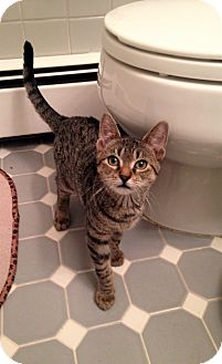 Domestic Shorthair Kitten for adoption in River Edge, New Jersey - Nicodemus