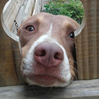 Adopt A Pet :: Kayla - Conroe, TX
