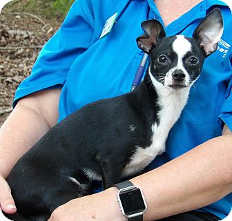 Chihuahua Puppy for adoption in Williamsport, Maryland - Boomer (7 lb) Video