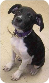 Boston Terrier/Boxer Mix Puppy for adoption in all of, Connecticut - Trudy