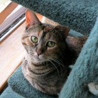 Adopt A Pet :: Alaskah - Northbrook, IL